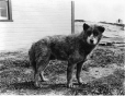 MP-0000.597.176 | Young dog, 1917-27 | Photograph | Captain George E. Mack |  |