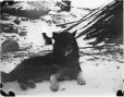 MP-0000.597.396 | Sled dog reclining on snow covered ground, 1910-27 | Photograph | Captain George E. Mack |  |