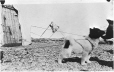MP-0000.597.421 | Sled dog puppy at Churchill, MB, 1921(?) | Photograph | Captain George E. Mack |  |