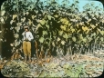 MP-0000.25.405 | Tournesols, Alb., vers 1925 | Photographie | Anonyme - Anonymous |  |