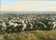 MP-0000.25.434 | Sheep on the Prairies, SK, about 1922 | Photograph | Anonyme - Anonymous |  |