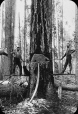 MP-0000.25.864 | Two men chopping down a large tree, BC(?), about 1895 | Photograph | Anonyme - Anonymous |  |