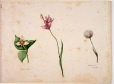 M828.1-3   Three wild flowers, trillium, eriophorum and an orchid   Painting   Anne Ross McCord     