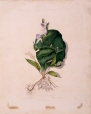 M10005 | Convalaria trifolia. Orchis fimbriata. Copied from nature 18th June 1837 Temple Grove | Painting | Anne Ross McCord |  |