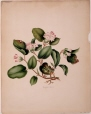 M987.158.1   Epigaea repens   Painting   Anne Ross McCord     