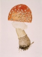 M991.14.125 | Amanita muscaria, Linn. | Painting | William Van Horne |  |