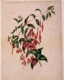 M827 | Fuchsia gracilis et globosa | Painting | Anne Ross McCord |  |
