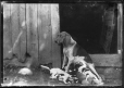 MP-1974.133.98   Dog with her litter of puppies, Drummondville, QC, about 1895   Photograph   Charles Howard Millar     
