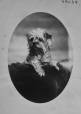 I-45084.1 | Le chien de M.. Dawson, Montréal, QC, 1870 | Photographie | William Notman (1826-1891) |  |