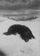 II-60452.1 | A. P. Patten's dog, Montreal, QC, 1881 | Photograph | Notman & Sandham |  |
