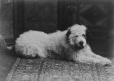 II-79559.1 | Miss Phillips' dog, Montreal, QC, 1886 | Photograph | Wm. Notman & Son |  |