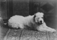 II-79560.1 | Miss Phillips' dog, Montreal, QC, 1886 | Photograph | Wm. Notman & Son |  |