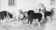 M2000.113.6.143 | Royal North West Mounted Police dogs feeding, Fort Churchill, MB, 1909 | Photograph | Hugh A. Peck |  |