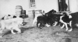 M2000.113.6.144 | Royal North West Mounted Police dogs feeding, Fort Churchill, MB, 1909 | Photograph | Hugh A. Peck |  |