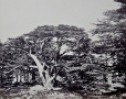 M2010.89.1.125 | The Largest of the Cedars, Mount Lebanon, Lebanon, 1858-59 | Photograph | Francis Frith |  |