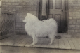 M2011.64.2.1.158 | Dog standing on porch, QC, about 1916 | Photograph | Harry Sutcliffe |  |