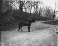 II-141576 | Miss Baumgarten and horse, Montreal, QC, 1902 | Photograph | Wm. Notman & Son |  |