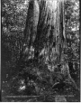 VIEW-2148.2 | Cedar tree, Stanley Park, Vancouver, BC, 1889 | Photograph | William McFarlane Notman |  |