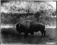 VIEW-3791.01 | Bison, Parc des montagnes Rocheuses, Banff, Alb., 1904 | Photographie | William McFarlane Notman |  |