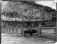 VIEW-3793.0 | Bison, Parc des montagnes Rocheuses, Banff, Alb., 1904 | Photographie | William McFarlane Notman |  |