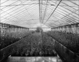 VIEW-4309 | Greenhouses, MacDonald College, Ste. Anne de Bellevue, QC, 1908 | Photograph | Wm. Notman & Son |  |