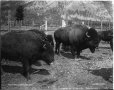 VIEW-4717.1 | Bisons, Parc national, Banff, Alb., 1909 | Photographie | William McFarlane Notman |  |